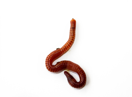 earth worm close up isolated , white background Stock Photo