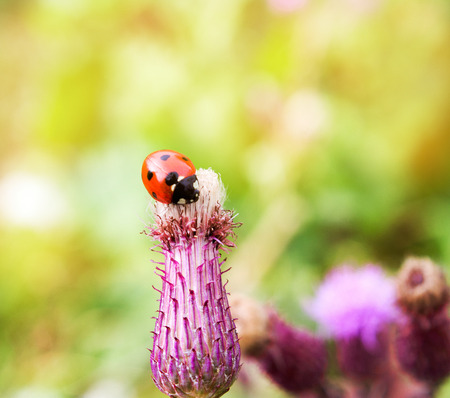 ladybug on a thistle flower in summer.