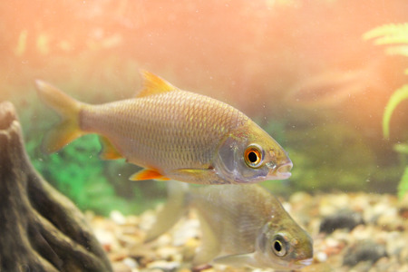 freshwater aquarium plants: Roach in an aquarium, wild fish in an aquarium Stock Photo
