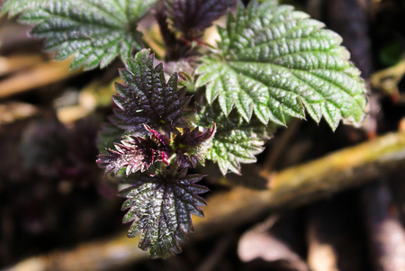 Fresh, common Nettle, Urtica dioica, growing in nature. Close up,macro