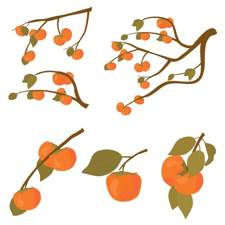 Set of persimmon fruit tree. Branches of kaki fruit with leafs ripe in autumn and raw. Vector cartoon illustration for Korean Chuseok holiday isolated on white background.