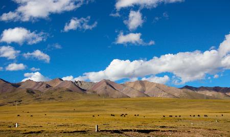 Yak in the hinterland of Kunlun Mountains