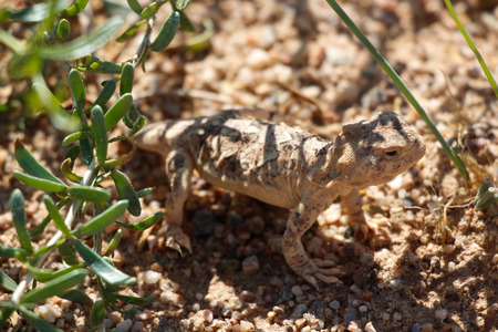 Lizards in Gansu, Gobi Stock Photo