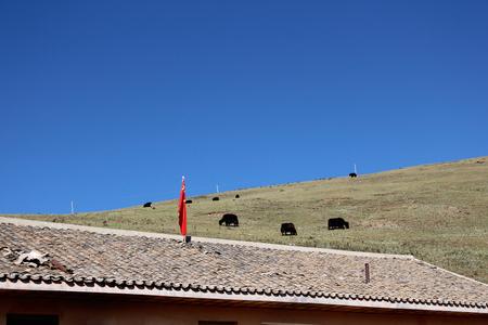 yak: Tibet Yak Stock Photo