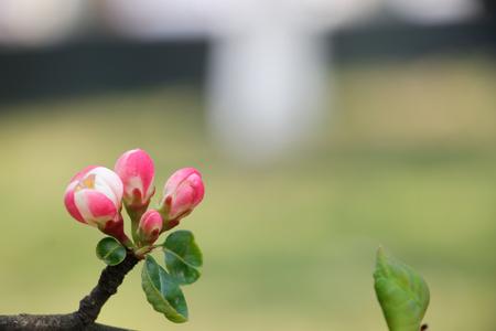 gules: Pink Begonia