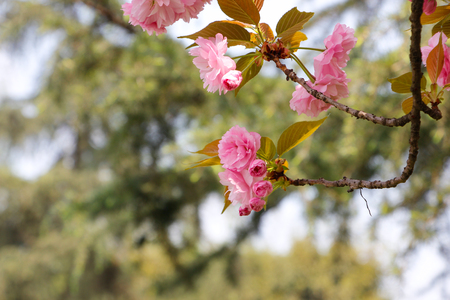 A bouquet of pink cherry blossoms