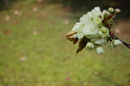 Simple elegant cherry bouquet Stock Photo
