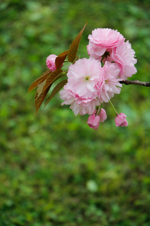 simple life: Simple elegant pink cherry blossoms