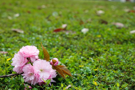 simple life: The grass elegant simple pink cherry blossoms