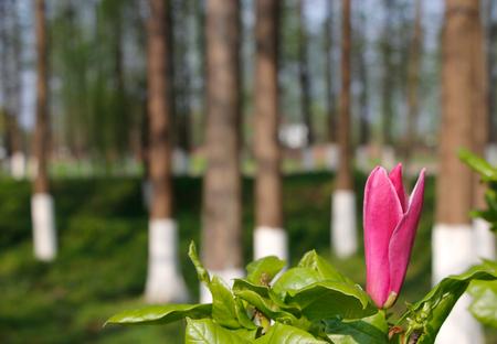gules: Simple Purple Magnolia Stock Photo