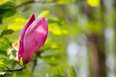 Simple Purple Magnolia Stock Photo