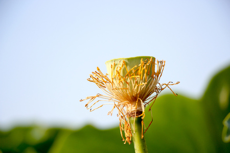 Withered lotus close up view Banco de Imagens