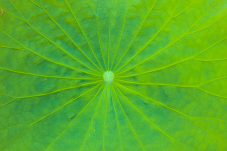 Lotus leaf Stock Photo