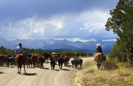 in herding: Cowboys herding cattle in the mountains of Colorado Stock Photo