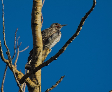 Northern Flicker resting on an Aspen branch.