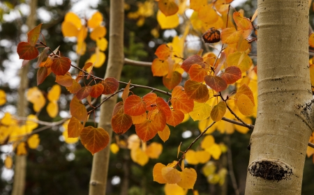 Close up view of Aspen leaves that have turned autumn colors