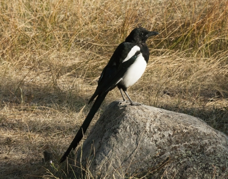 billed: A black billed magpie in the state of Colorado