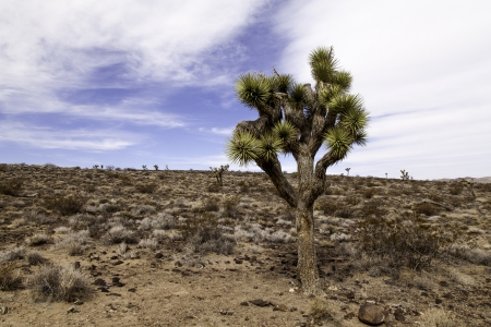 Joshua Tree Stock Photo - 19380563