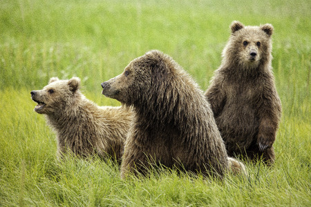 Female grizzly bear with two cubs. Фото со стока