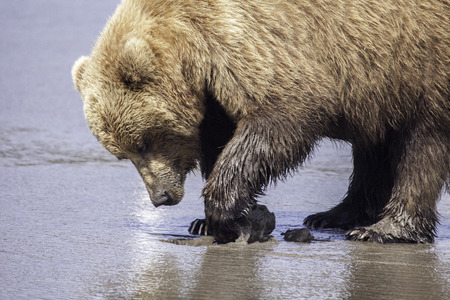 Grizzly digging for clams