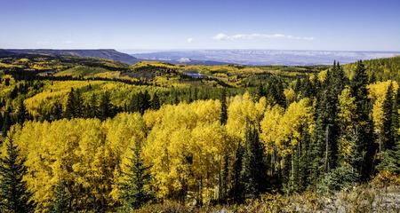 aspen tree: Aspen tree in fall colors on Grand Mesa. Stock Photo