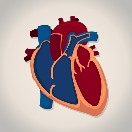 Vector human heart anatomy with white background.