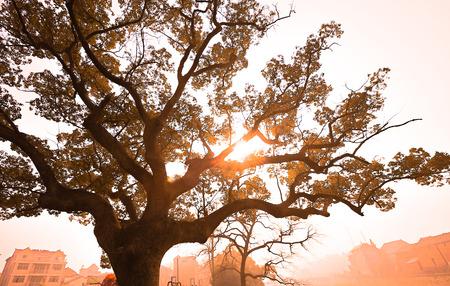 cinnamomum: Sunshine through the Cinnamomum camphora