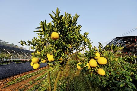 increase fruit: lemon tree Stock Photo
