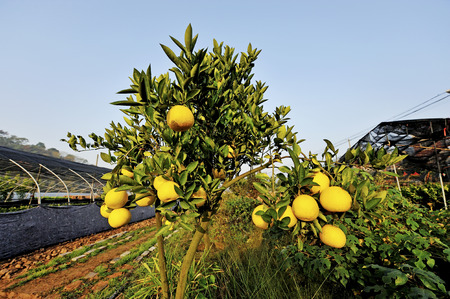 increase fruit: A lemon Stock Photo
