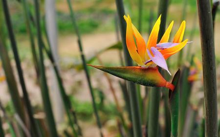 drought    resistant plant: Bird of Paradise Stock Photo