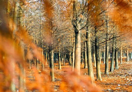 cedar: Bosque de cedros