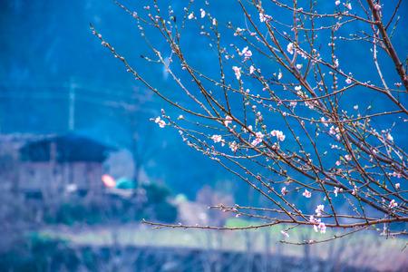 peach blossom: Peach blossom in full bloom