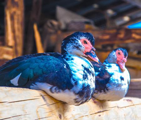 two ducks: Two ducks