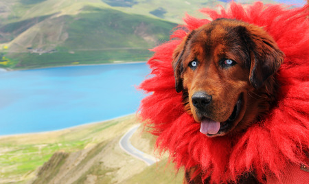 mastiff: Tibetan Mastiff Stock Photo
