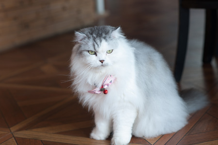 blue siamese cat: cat