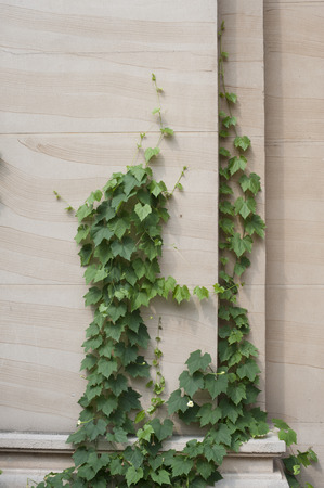 ivy wall: Ivy leaves in a wall
