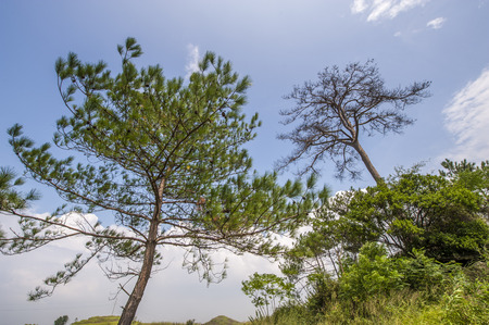 pin arbre: Pine tree