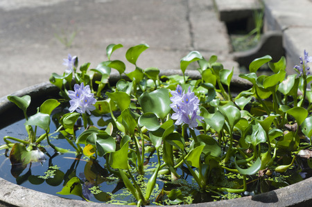 dep�sito de agua: Water hyacinth in a water tank