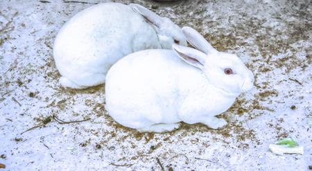 land mammals: Rabbit
