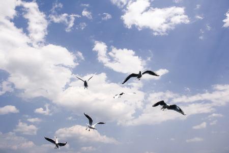 black headed: Black Headed Gull Stock Photo