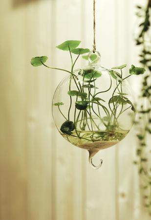 hydroponics: Hydroponics loosestrife Stock Photo