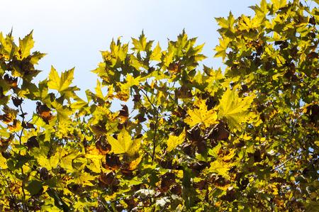 sicomoro: Sycamore leaves