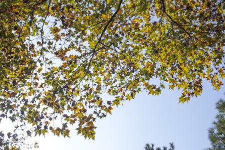 プラタナス: Sycamore leaves