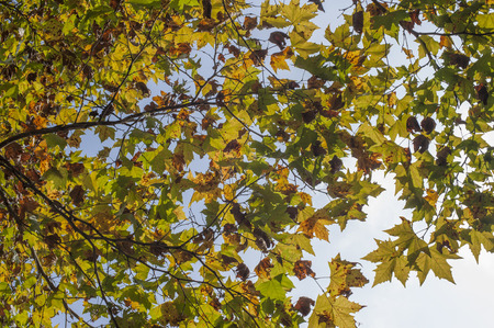 sycamore: Sycamore leaves