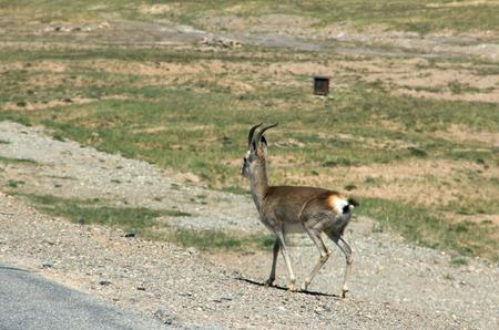 gazelle: Mongolian gazelle