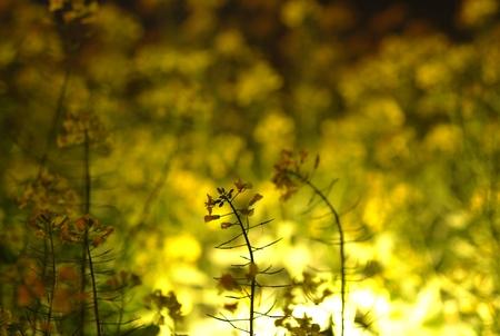 canola: canola flowers Stock Photo