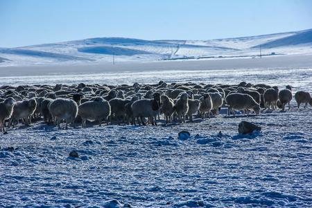 frozen lake: Sheep at frozen lake