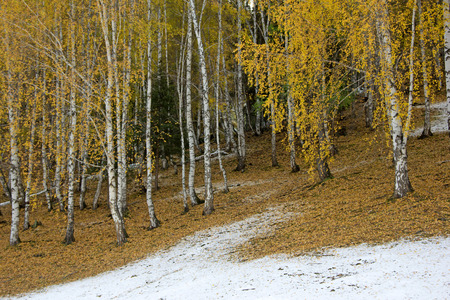 Landscape view of populus tree forest