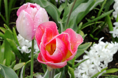 upclose: blooming tulips