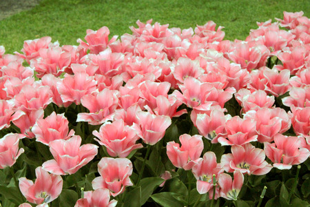 zoomed in: pink tulips Stock Photo
